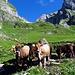 Neugierige Kühe am Wegrand beim Schofboden