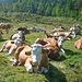 Auf der Weide steppt nicht gerade der Bär, der Partylöwe ist offenbar auch ausgeflogen. Rindviecher! Überall nur Rindviecher!