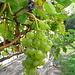 Rossura - Grappolo di uva bianca.
