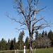 Sterbender Baum auf der Pature chez Rossé