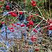 Auf der Pature chez Rossé: Gemeiner Schneeball (Viburnum opulus)