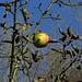 Tapferer Apfel / mela brava