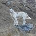 Ein wilder Hund beim Machhapuchhare Base Camp