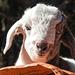 Ein kleines Lamm bei Deurali