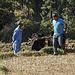 2 Männer pflügen ein Feld auf dem Weg zwischen Nayapul und Ullery.