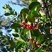 Farbtupfer: die roten Früchte der Stechpalme. Danke an [u Aboehlen] für den Hinweis