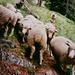 Die Schafe folgen uns bis in den Wald hinunter.