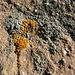 Lebende Steinchen - klein, oh so klein