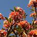 Frangipani (Plumeria) auch Frangipandi, Wachsblume, Flor de Cebo oder Tempelbaum genannt. Der botanische Gattungsname ehrt den französischen Botaniker Charles Plumier (1646–1704). <br />Sehen nicht nur schön aus, sie duften auch herrlich :-)