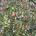 .. Stechpalmen mit Beeren
