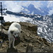 Engelberger Rotstock, animalische Gipfelfreuden...