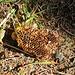 Wabe einer Wildbiene oder Hummel