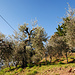 Viele Olivenbäume