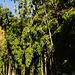 Wieder Bambus