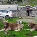 Alpbeizli auf dem Foggboden von zwei Alpkühen bewacht.