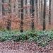 Buchenwald mit Brombeer-Unterholz.