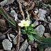 Primula acaulis (L.) L.<br />Primulaceae<br /><br />Primula comune.<br />Primevére acaule.<br />Stängellose Schlüsselblume.