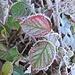 """Bodenfrost """"verzaubert"""" die Herbstblätter 2"""