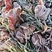 """Bodenfrost """"verzaubert"""" die Herbstblätter 1"""
