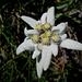 Im Abstieg vom Gärtliegg viele Edelweisse gesehen.