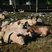 Jedes Schwein liegt an diesem schönen Tag an der Sonne...