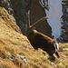 Ein Bock bewacht den Übergang.