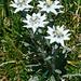 An Blumen mangelt es am Hohgant nicht