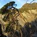 ... zu den furchterregenden Abbrüchen ins Hagtobel: hier hält der Baum den Fels - und umgekehrt; noch ...