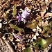 Hepatica nobilis Schreb.<br />Ranunculaceae<br /><br />Erba trinità.<br />Hépatique à trois lobes.<br />Leberblümchen.<br />