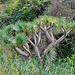 Wilder Drachenbaum im Barranco de Roque Bermejo.