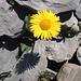 Ein gelbes Blüemli mit schwarzem Schatten