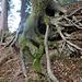 dieser Baum hält sich geschickt am (künstlichen) Steilhang