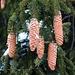 Harzende Zapfen der Gemeinen Fichte (Picea abies).