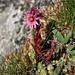 Blooming Mountain 'Hauswurz' (Berg-Hauswurz, Sempervivum montanum)