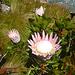 Proteas - die Nationalblume Südafrikas