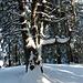 in der Waldlichtung gegen Hinter Gwandelen steht dieser urige Einzelbaum