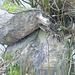 sogar an alten Baumstrünken sind Biberspuren zu sehen