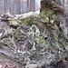 Hier die Unteransicht von einem total verkalkten Baum.