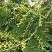 Acacia dealbata Link<br />Fabaceae<br /><br />Acacia dealbata, Mimosa.<br />Mimosa blanchatre.<br />Falsche Mimose.