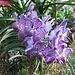 wunderschöne Orchideen in Blau