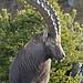 Bild von Uwe: Ein majestätischer Karwendel-Steinbock.<br />(c) Uwe