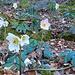 Die Christrosen stehen noch in voller Blüte