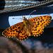 Farfalla in posa sullo zaino