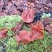 weitere - sogar geniessbare - Pilze, [https://de.wikipedia.org/wiki/Samtfu%C3%9Fr%C3%BCblinge Gemeine Samtfussrüblinge], an einem Baumstamm