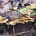 die [https://de.wikipedia.org/wiki/Striegelige_Tramete Striegelige Tramete], am alten Baum ...