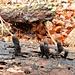 ... vor weiteren, sehr speziellen, Pilzen: [https://de.wikipedia.org/wiki/Vielgestaltige_Holzkeule Vielgestaltige Holzkeule]