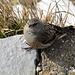 Monte Generoso : uccellino ( con una sola zampa )