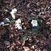 Helleborus niger L.<br />Ranunculaceae<br /><br />Rosa di Natale, Elleboro bianco.<br />Rose de Noel.<br />Christrose.