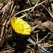 Huflattich - einer der ersten Frühlingsboten