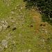 Ein Rudel von Gamsen am Klimserhorn.